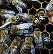 Genetic determination of reproductive hierarchies in honeybees.
